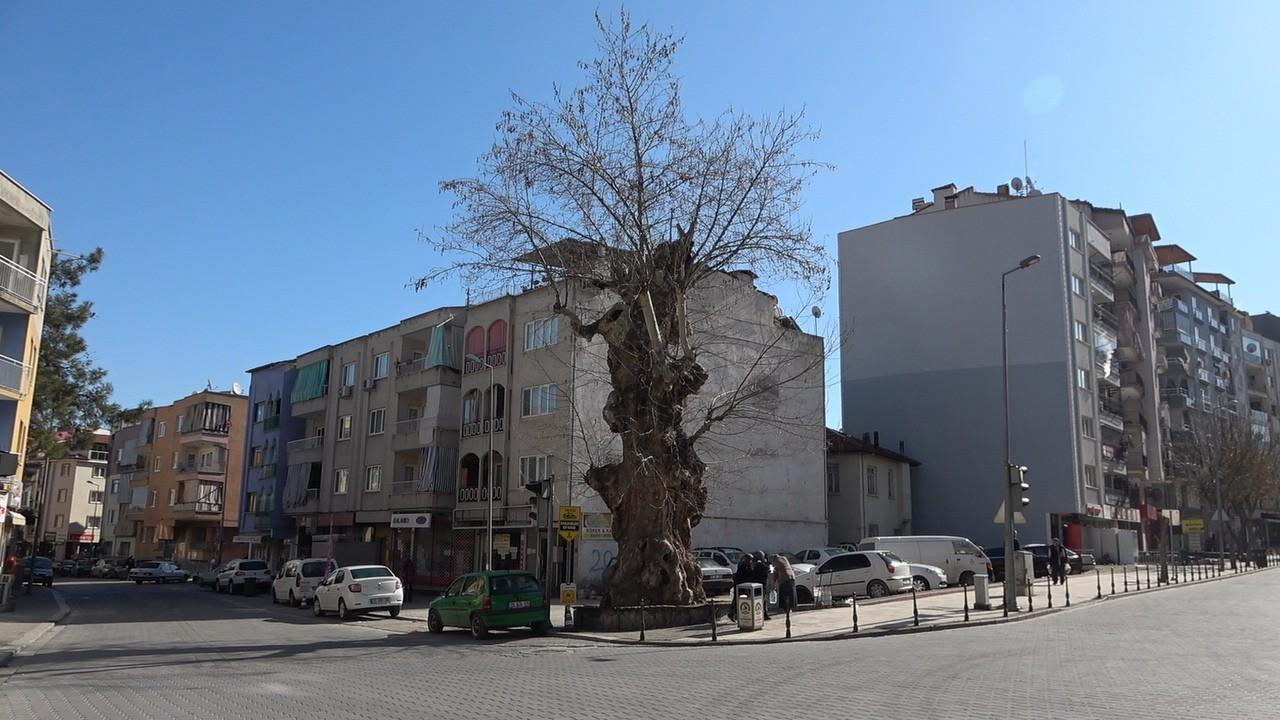 2 asrı deviren çınar ağacı