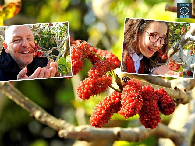 İzmir Çeşme'de dut ağacı kış ortasında meyve verdi
