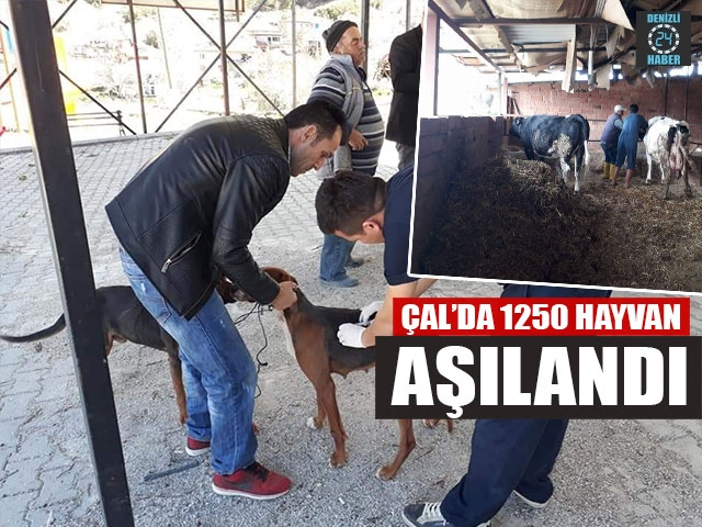 Çal'da 1250 Hayvan Aşılandı