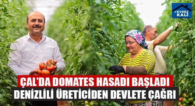 Çal'da domates hasadı başladı Denizlili üreticiden devlete çağrı
