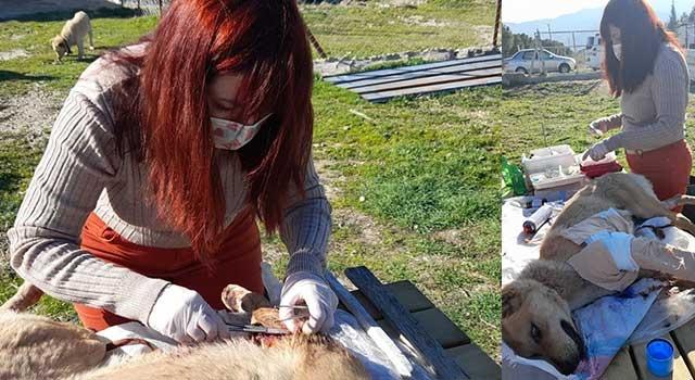 Yaralı sokak köpeği belediye veteriner hekimi tedavi etti