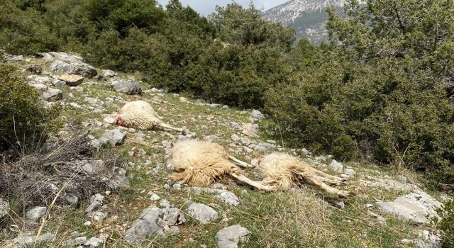 Denizli'de kurt sürüye saldırdı 13 koyunu telef etti