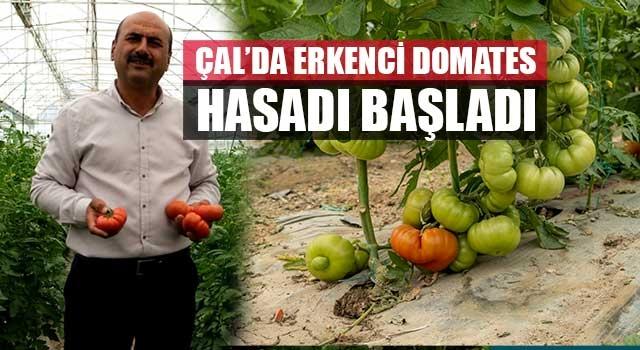 Çal'da erkenci domates hasadı başladı