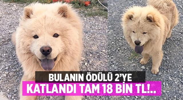 Denizli'de kaybolan Muhtar isimli köpeği bulana 18 bin lira ödül