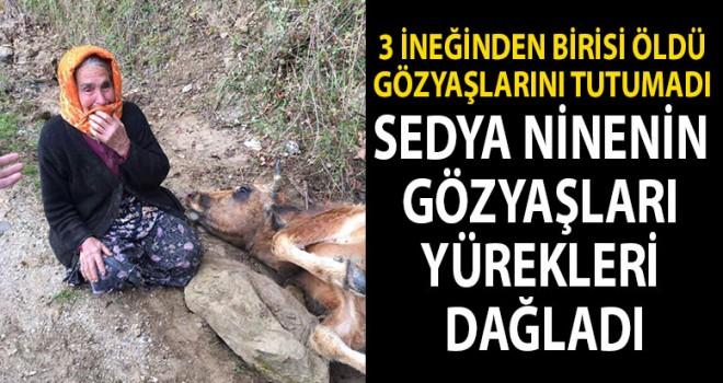 3 ineğinden birisi öldü, gözyaşlarını tutamadı