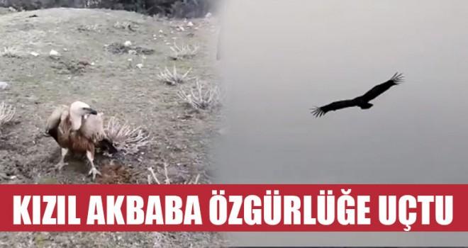 Kızıl Akbaba Özgürlüğe Uçtu
