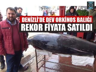 Denizli'de Dev Orkinos Balığı Rekor Fiyata Satıldı