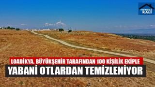 Loadikya, Büyükşehir Tarafından 100 Kişilik Ekiple Yabani Otlardan Temizleniyor