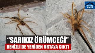 """""""Sarıkız Örümceği"""" Denizli'de Yeniden Ortaya Çıktı"""