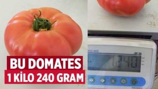 Bu domates 1 kilo 240 gram